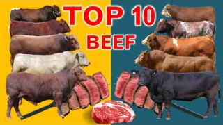 Top 10  Cattle Beef Breeds | Highest Average Daily Gain the World from Weaning to Yearling Age